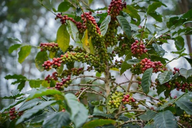 Gros plan les grains de café sont mûrs, récoltés, des branches de plants de café arabica dans la province de nan, dans le nord de la thaïlande.