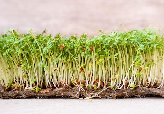 Gros plan de grains germés salade de cresson poussent sur un tapis de lin humide.