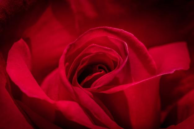 Gros plan grand angle d'une magnifique rose rouge