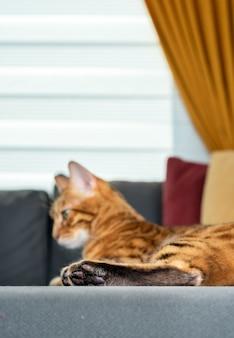 Gros plan sur un grand chat bengal endormi allongé sur un canapé à l'intérieur du salon minimaliste, mise au point sélective