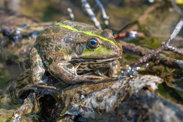 Gros plan d'une grande grenouille mouchetée à l'état sauvage. animal de bonne qualité.