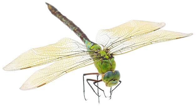 Gros plan d'une grande libellule verte isolée
