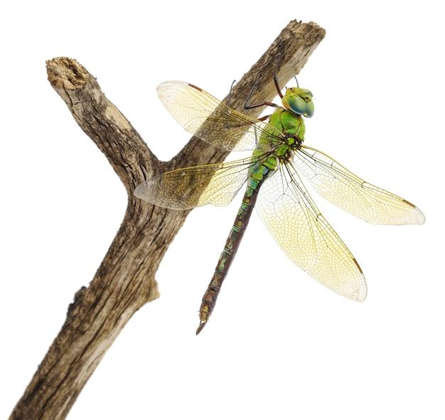 Gros plan de grande libellule verte