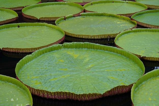 Gros plan de grandes feuilles de lotus victoria amazoniennes flottant sur l'eau