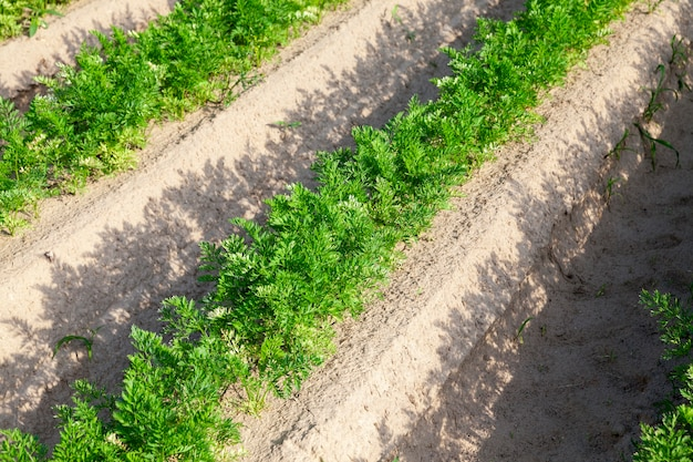 Gros plan graphique d'un champ agricole sur lequel poussent des pousses vertes de carottes