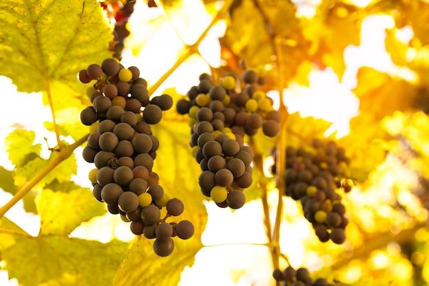 Gros plan des grappes de raisins rouges mûrs sur la récolte de la vigne