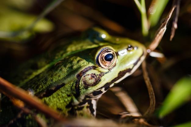 Gros plan d'une grenouille arboricole qui aboie avec un regard intense