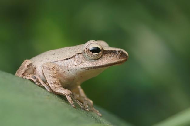 Gros plan d'une grenouille brune sur une feuille verte
