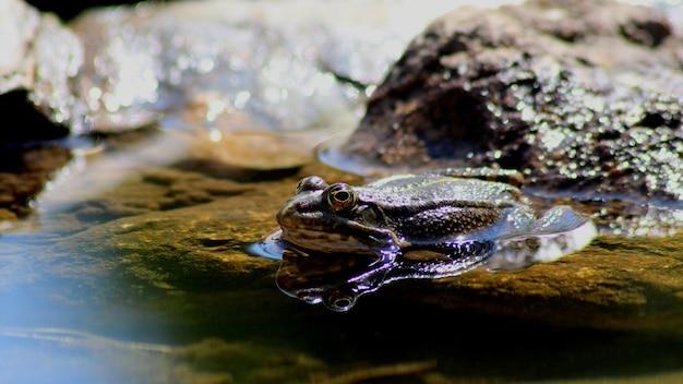 Gros plan d'une grenouille dans l'étang près des pierres