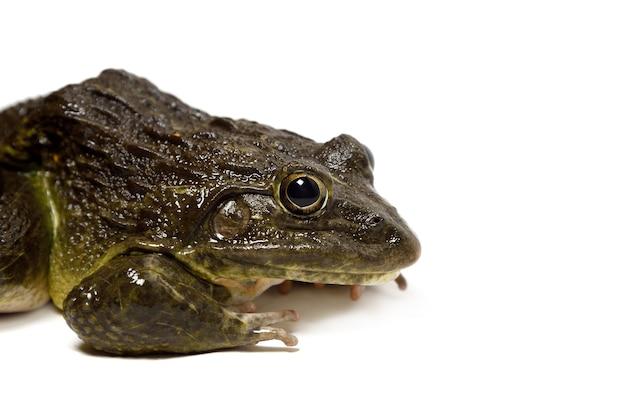 Gros plan de grenouille isolé sur une surface blanche