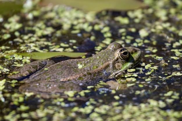 Gros plan d'une grenouille des marais (pelophylax ridibundus)