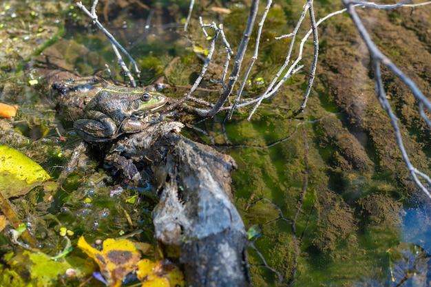 Gros plan de grenouille mouchetée à l'état sauvage. animal de bonne qualité.