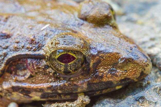Gros plan d'une grenouille de rivière asiatique