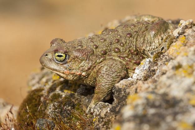 Gros plan d'une grenouille sur le rocher dans le parc