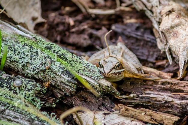 Gros plan d'une grenouille sur une surface en bois dans une forêt avec une feuille dessus
