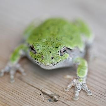 Gros plan d'une grenouille verte au lac des bois, en ontario