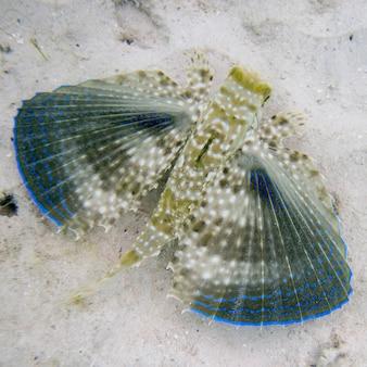 Gros plan d'un grondin volant (dactylopterus volitans) sous-marin, île utila, îles bay, honduras