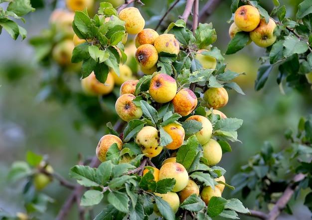 Gros plan d'un gros bouquet de pommes sauvages mûres sur une branche de pommier dans la lumière du matin