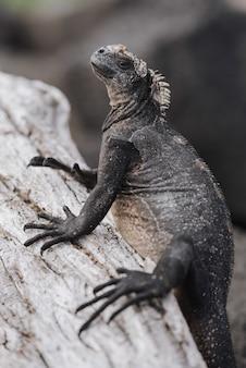 Gros plan d'un gros iguane gris sur l'arbre