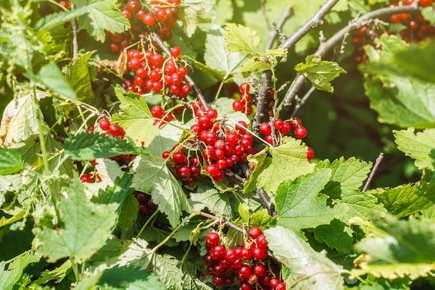 Gros plan de groseilles rouges mûres. buisson de groseille rouge dans un jardin