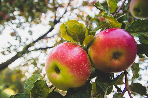 Gros plan de grosses pommes rouges sur une branche d'arbre. fruits mûrs.