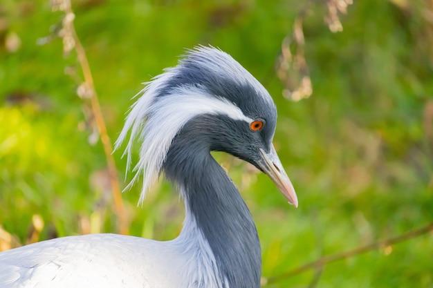 Gros plan d'une grue demoiselle avec de longues plumes blanches tombant du coin de ses yeux
