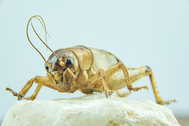Gros plan de gryllidae ou de cricket