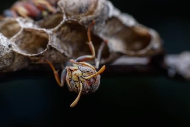 Gros plan guêpe protégeant ses larves et son nid