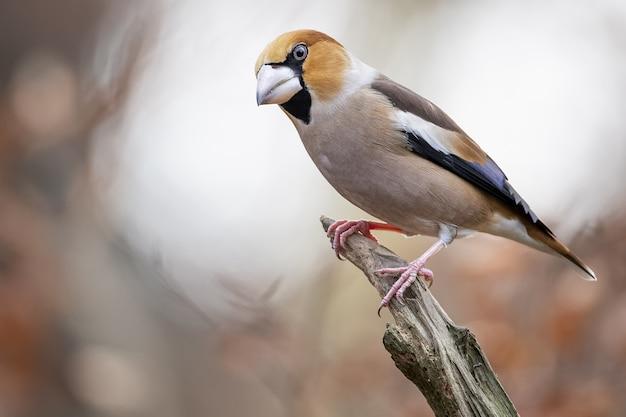 Gros plan d'un hawfinch mâle assis sur une branche