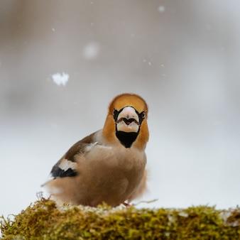 Gros plan sur hawfinch à la mangeoire d'hiver