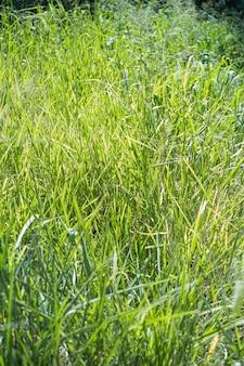 Gros plan de l'herbe envahie dans le parc