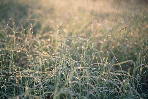Gros plan d'herbe épaisse fraîche avec des gouttes d'eau au petit matin