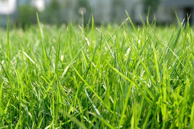 Gros plan d'herbe épaisse fraîche