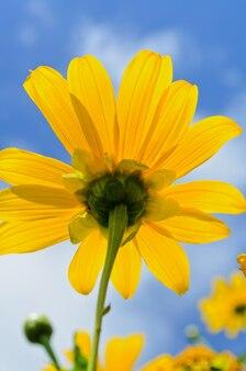 Gros plan sur l'herbe de tournesol mexicaine ou tithonia diversifolia, les belles fleurs sont jaune vif sur fond de ciel bleu