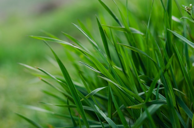 Gros plan de l'herbe verte comme un fond abstrait avec un espace pour les mots