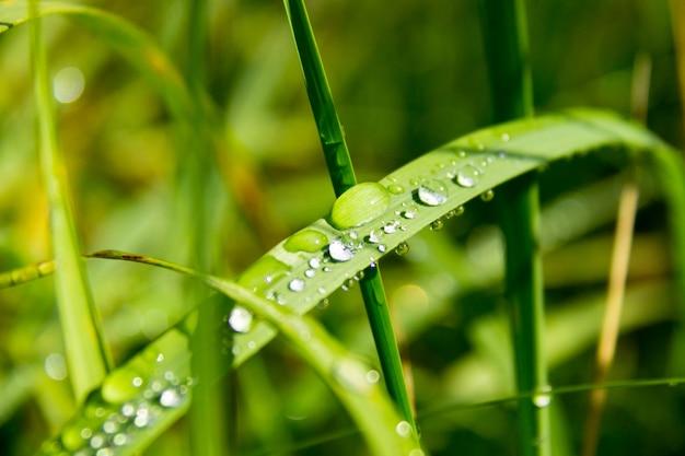 Gros plan d'herbe verte épaisse fraîche avec des gouttes de rosée tôt le matin. fond de gouttes d'eau sur les plantes. herbe humide après la pluie