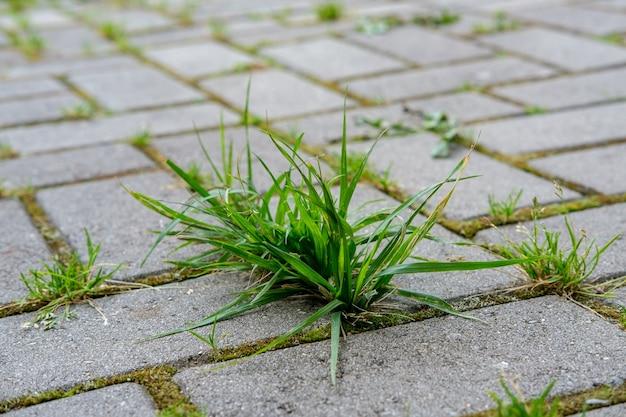 Un gros plan d'herbe verte et de mousse pousse dans les joints entre les petits pavés de l'allée du jardin.