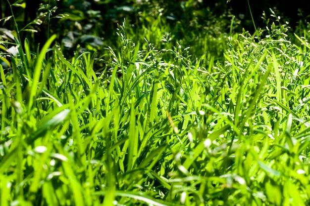 Gros plan de l'herbe verte naturelle