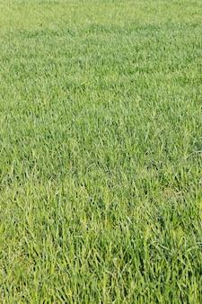Gros plan de l'herbe verte