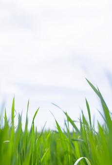Gros plan d'herbe.