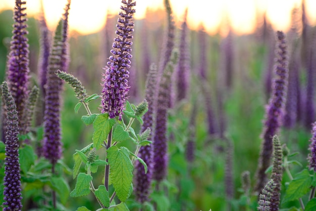 Gros plan d'herbes violettes vibrantes avec des feuilles vertes en pleine floraison au coucher du soleil