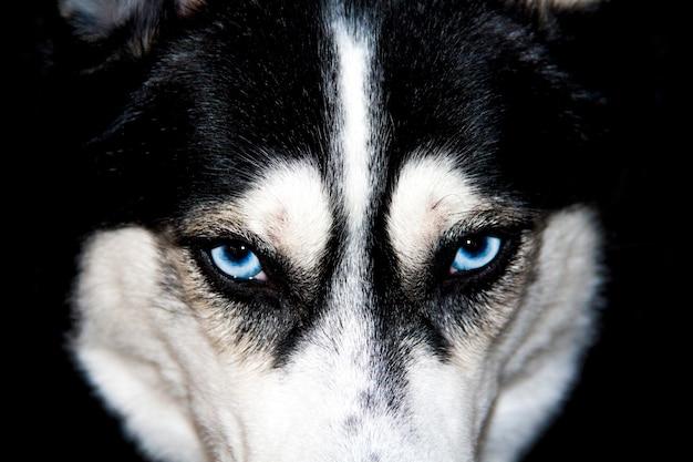 Gros plan husky aux yeux bleus. husky sibérien mâle noir et blanc.