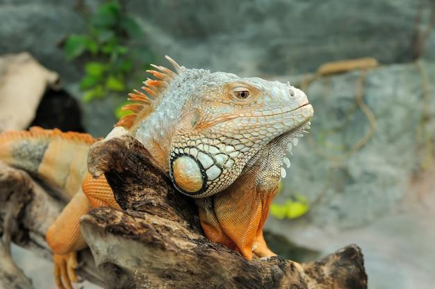 Gros plan d'un iguane vert mâle multicolore