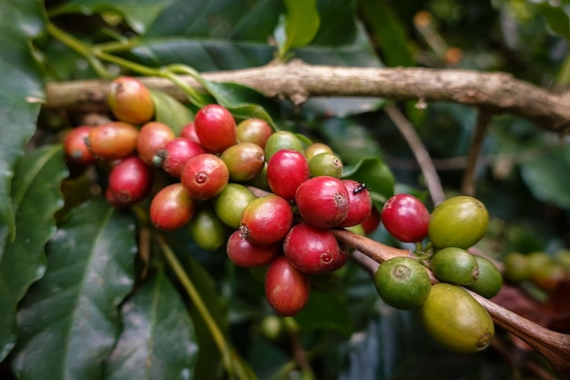 Gros plan sur une image de grain de café arabica sur des caféiers cultivés dans le nord de la thaïlande, province de nan