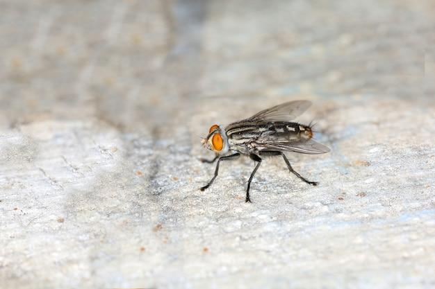Gros plan de l'insecte mouche domestique sur le sol en ciment en thaïlande