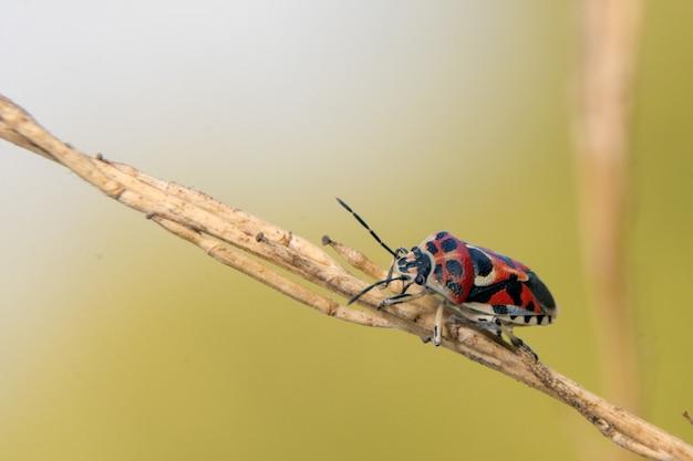 Gros plan d'un insecte soldat rouge sur un bâton
