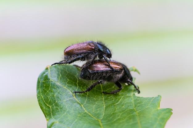 Gros plan d'insectes s'accouplant sur la feuille verte
