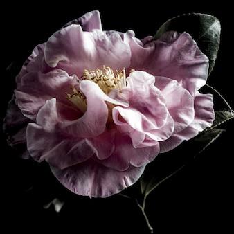 Gros plan isolé d'une belle rose à feuilles persistantes rose sur fond noir