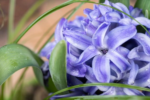 Gros plan sur la jacinthe bleue