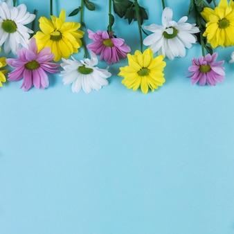 Gros plan de jaune; fleurs de camomille roses et blanches sur fond bleu